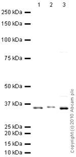 Western blot - XBP1 antibody (ab28715)