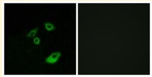 Immunocytochemistry/ Immunofluorescence - Anti-Bcl-2 (phospho T56) antibody (ab28820)