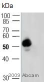 Western blot - ATF2 (phospho T69/51) antibody (ab28848)