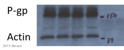Western blot - Anti-P Glycoprotein antibody [265/F4] (ab3083)