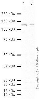 Western blot - Anti-CD26 antibody [202-36] (ab3154)