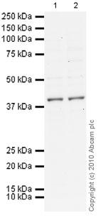 Western blot - MiTF antibody [D5] (ab3201)
