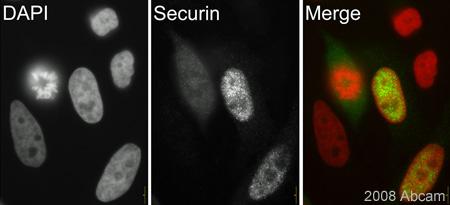 Immunocytochemistry/ Immunofluorescence - Securin antibody [DCS-280] (ab3305)