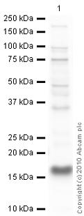 Western blot - VAMP4 antibody (ab3348)