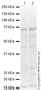 Western blot - Mesothelin antibody [K1] (ab3362)