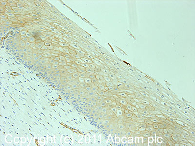 Immunohistochemistry (Formalin/PFA-fixed paraffin-embedded sections) - Anti-Caveolin-2 (phospho Y19) antibody (ab3417)