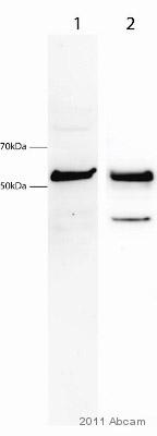 Western blot - PICK1 antibody (ab3420)