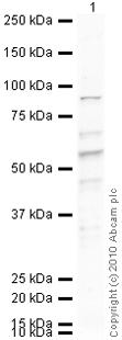Western blot - PC1/3 antibody (ab3532)