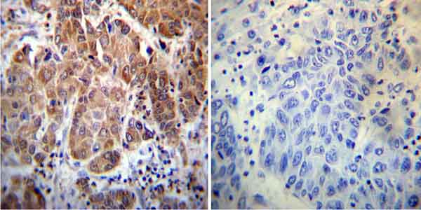 Immunohistochemistry (Formalin/PFA-fixed paraffin-embedded sections) - Anti-Cyclophilin 40 antibody (ab3562)