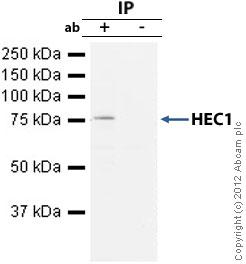 Immunoprecipitation - Anti-HEC1 antibody [9G3] (ab3613)