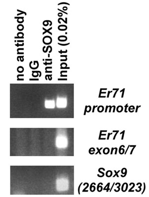 ChIP - Anti-SOX9 antibody - ChIP Grade (ab3697)