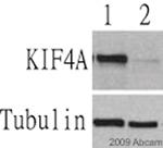 Western blot - KIF4A antibody (ab3815)
