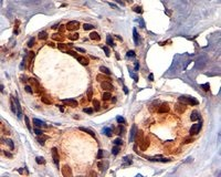 Immunohistochemistry (Formalin/PFA-fixed paraffin-embedded sections) - Anti-KAP1 antibody - ChIP Grade (ab3831)
