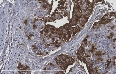 Immunohistochemistry (Formalin/PFA-fixed paraffin-embedded sections) - Blood Group Lewis a antibody [7LE] (ab3967)