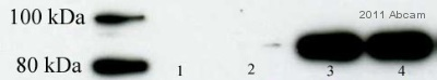 Western blot - STAT1 (phospho S727) antibody [PSM1] (ab3991)