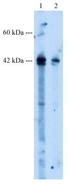 Western blot - NR2E1 / Tailless antibody (ab30942)