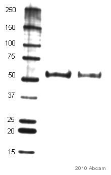 Western blot - Alpha 2 Antiplasmin antibody [710-1E-94] (ab30994)
