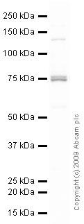 Western blot - Hsp70 antibody (ab31010)