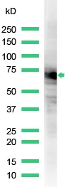 Western blot - Hsp70 antibody, prediluted (ab31011)