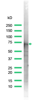 Western blot - Annexin VI antibody (ab31026)