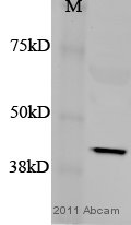 Western blot - Anti-TRA2B antibody (ab31353)