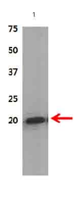 Western blot - AIMP3/p18 antibody (ab31543)