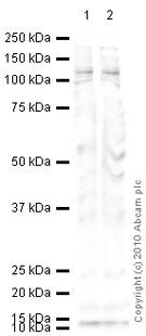 Western blot - GM130 antibody (ab31561)