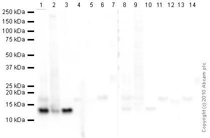 Western blot - Histone H4 antibody [mAbcam 31830] (ab31830)