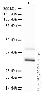 Western blot - GODZ antibody (ab31837)