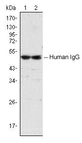 Western blot - Human IgG secondary antibody [4D2D9G8] - F(c) (ab31925)