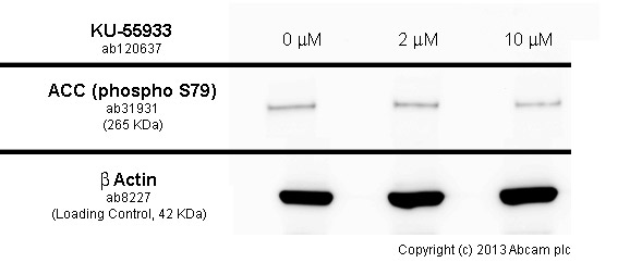 Western blot - Anti-Acetyl Coenzyme A Carboxylase (phospho S79) antibody (ab31931)