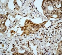Immunohistochemistry (Formalin/PFA-fixed paraffin-embedded sections) - Anti-pro Caspase 9 antibody [E84] (ab32068)