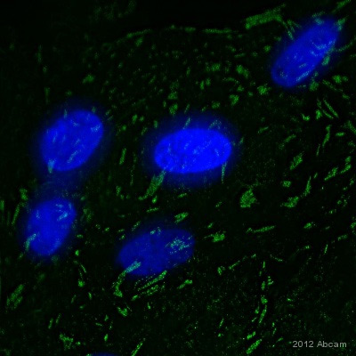 Immunocytochemistry/ Immunofluorescence - Anti-Paxillin antibody [Y113] (ab32084)