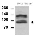 Western blot - Anti-Amyloid beta precursor protein antibody [Y188] (ab32136)