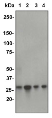 Western blot - Anti-CDK1 antibody [E161] (ab32384)