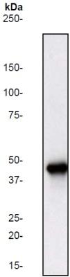 Western blot - ERK1 antibody [Y72] (ab32537)