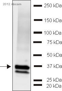 Western blot - Anti-Synaptophysin antibody (ab32594)