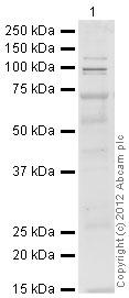 Western blot - Anti-Atrophin 1 antibody (ab32604)