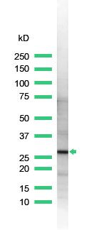 Western blot - 14-3-3 zeta antibody (ab32622)