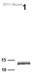 Western blot - Parvalbumin antibody (ab32895)