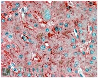 Immunohistochemistry (Formalin/PFA-fixed paraffin-embedded sections) - Apolipoprotein E  antibody (ab32897)