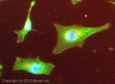 Immunocytochemistry/ Immunofluorescence - Tristetraprolin antibody (ab33058)