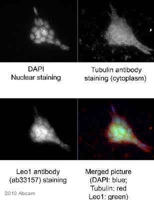 Immunocytochemistry/ Immunofluorescence - LEO1 antibody (ab33157)