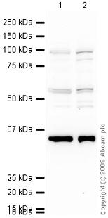 Western blot - LEO1 antibody (ab33157)