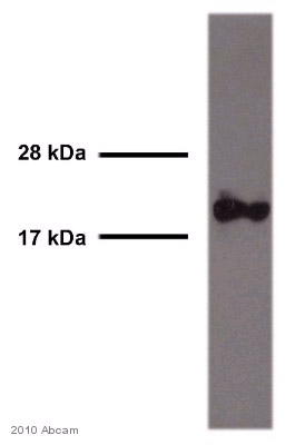 Western blot - Rac1 antibody [0.T.127] (ab33186)