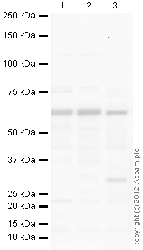 Western blot - Anti-HDAC1 antibody (ab33278)