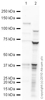 Western blot - DAZL antibody (ab34139)