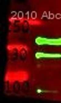 Western blot - Neurexin II alpha antibody (ab34245)