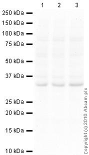 Western blot - LIF antibody [4F7.2] (ab34427)