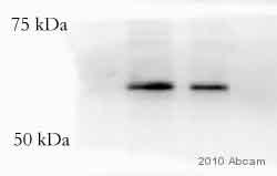 Western blot - VSV-G tag antibody (Biotin) (ab34774)